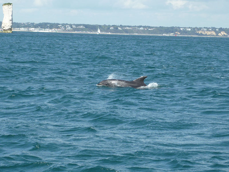 dorset dolphins often seen on our fishing trips